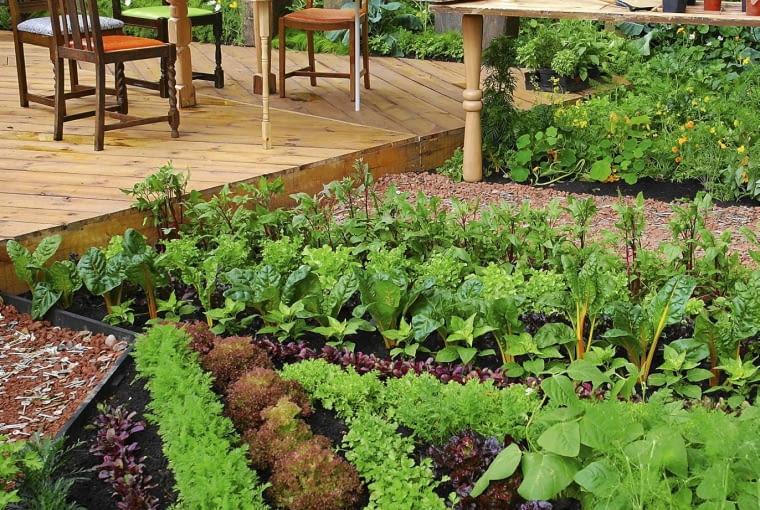 Ogród amatora warzyw pełen m.in. sałaty, kapusty, pietruszki, marchwi i buraków. Posadzone w rytmicznym szyku rośliny zastępują kwiaty