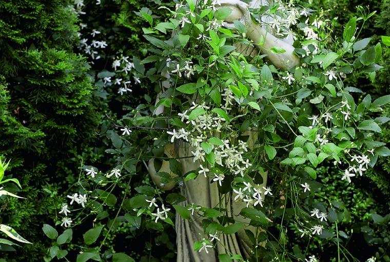 Bogini Hebe opleciona pędami powojnika mandżurskiego patronuje ogrodowym przyjęciom.