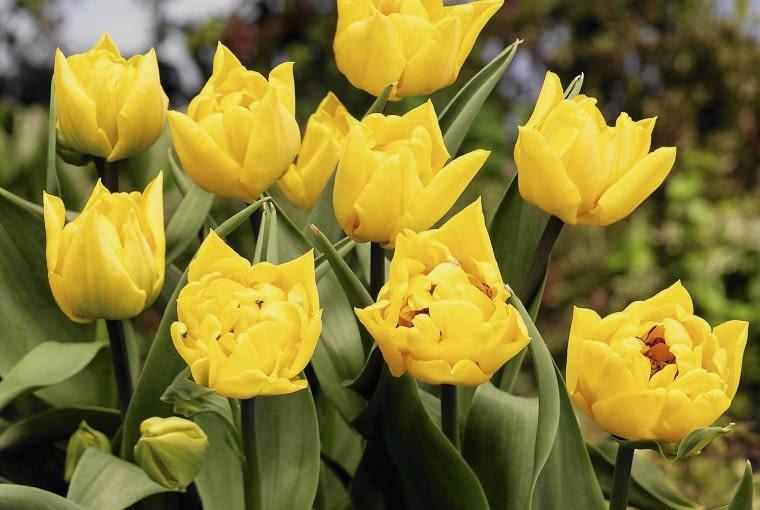 artist/???? 001 SLOWA KLUCZOWE: IBC ZDJĘCIE DO WKŁADKI: Dry Bulbs & Springflowering bulbs
