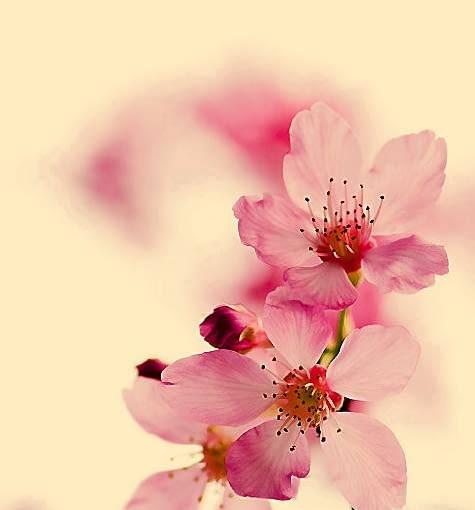 Trudno wyobrazić sobie japoński ogród bez wiśni, wiosną obsypanych obłokiem kwiatów.