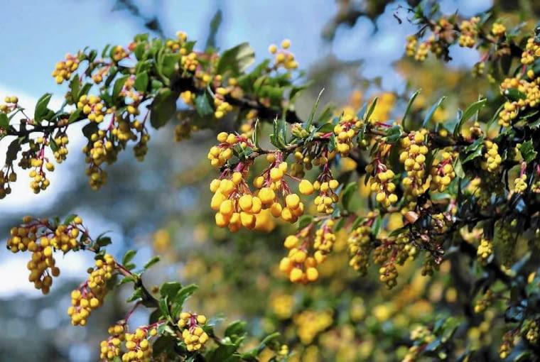 BERBERYS DARWINA ma liście podobne do ostrokrzewu