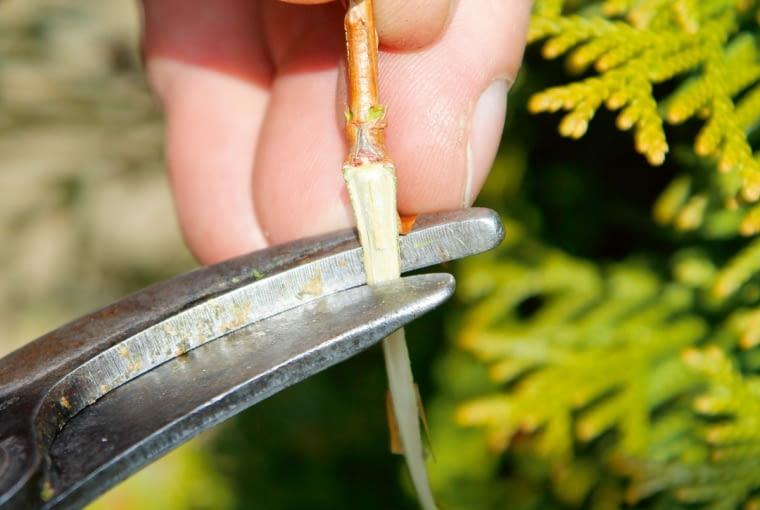 Piętkę skracamy ostrym sekatorem do ok. 0,5 cm długości i obcinamy górną część zielonych gałązek. Sadzonka powinna mieć długość 5-7 cm.