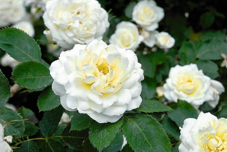 SLOWA KLUCZOWE: ANNA ZINKEISEN regents park anglia rosa roza