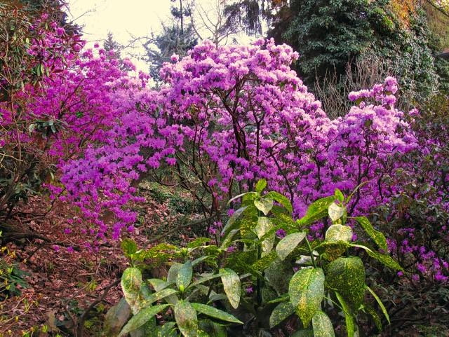 Tak w początkach kwietnia prezentuje się arboretum w Wojsławicach (woj. dolnośląskie), w którym rośnie blisko 500 gatunków i odmian różaneczników. Na zdjęciu różanecznik ostrokończysty