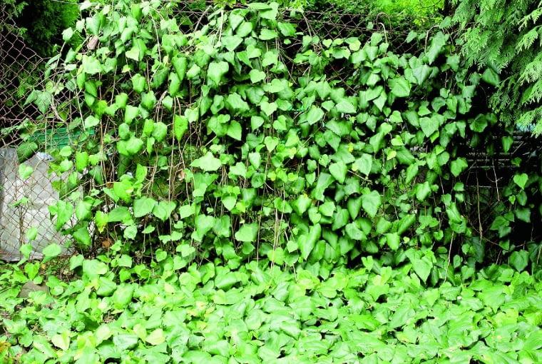 Bluszcz kolchidzki wciepłych rejonach kraju uprawiajmy jako pnącze, awchłodnych traktujmy jako roślinę okrywową (wtedy mniej przemarza).