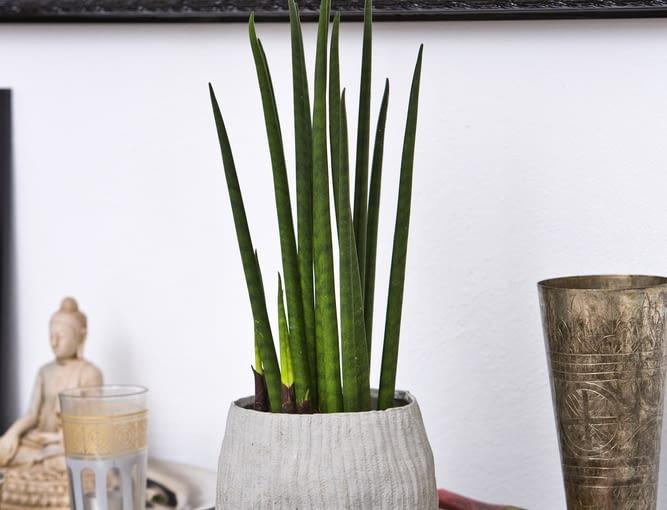 Sansewieria (S. cylindrica) zadowoli najbardzej wymagające gusta, a jest przy tym łatwa w uprawie.