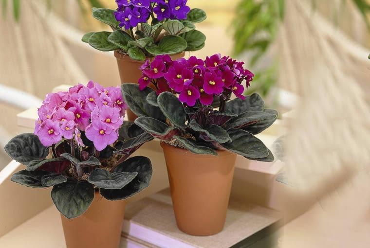 Usambaraveilchen (Saintpaulia mixed) SLOWA KLUCZOWE: Blumen Bl´ten Saintpaulia Usambara Usambaraveilchen Visions Bl´ten Saint Paulia violett violette Hochformat