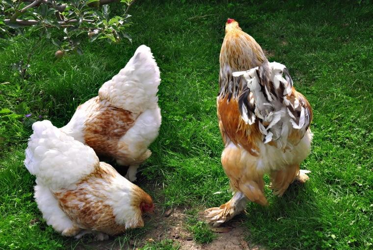Kury ozdobne są często hodowane w wiejskich ogrodach.