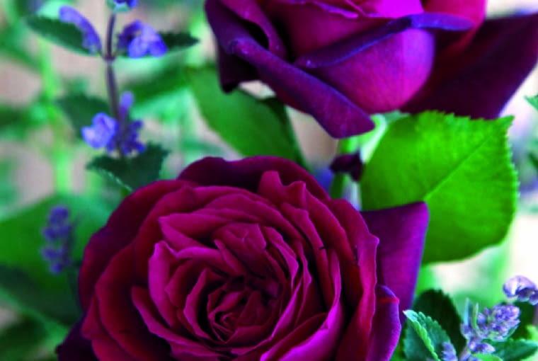 'Gräfin Diana' - mieszaniec herbatni, wys. 1 m, kwiaty o średnicy 8 cm.