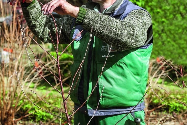 Skrócenie głównego pędu młodego drzewka spowoduje rozrośnięcie się gałęzi bocznych, które także przycinamy.