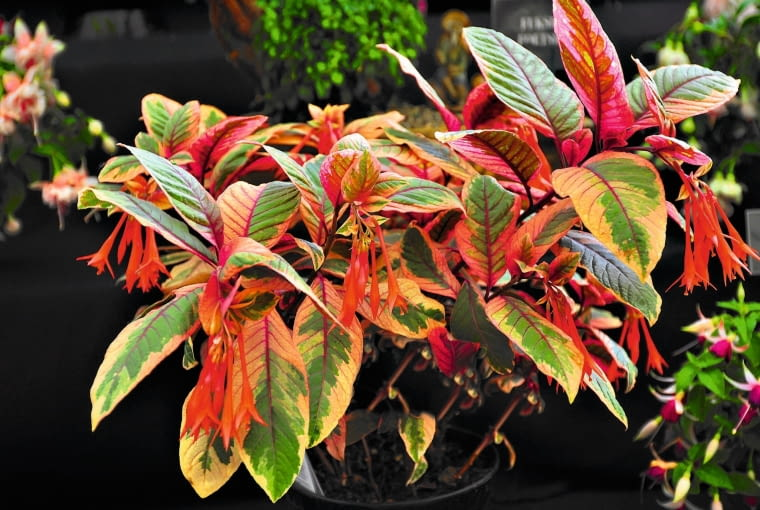 Fuksja 'FIRE CRACKER' to odmiana o wzniosłym, krzaczastym pokroju i charakterystycznych dwu- barwnych liściach.