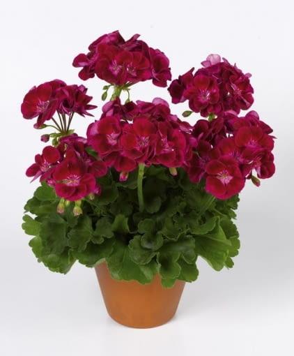 Pelargonia rabatowa Flower Fairy Velvet