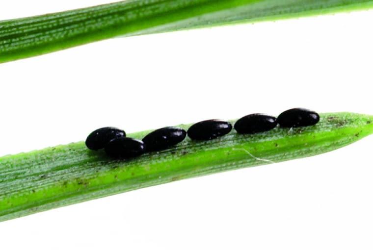 Czarne punkciki na igłach- jaja mszyc (o długości 0,5 mm)złożone przez zapłodnioną samicę.