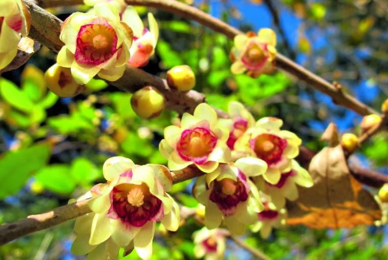 gałązki zimokwiatu najładniej wyglądają na początku kwitnienia, gdy pierwsze kuleczki złocistych pąków zaczynają rozchylać płatki.