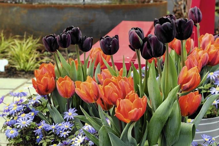 SLOWA KLUCZOWE: Anemone blanda Tulipa Floriade 2012