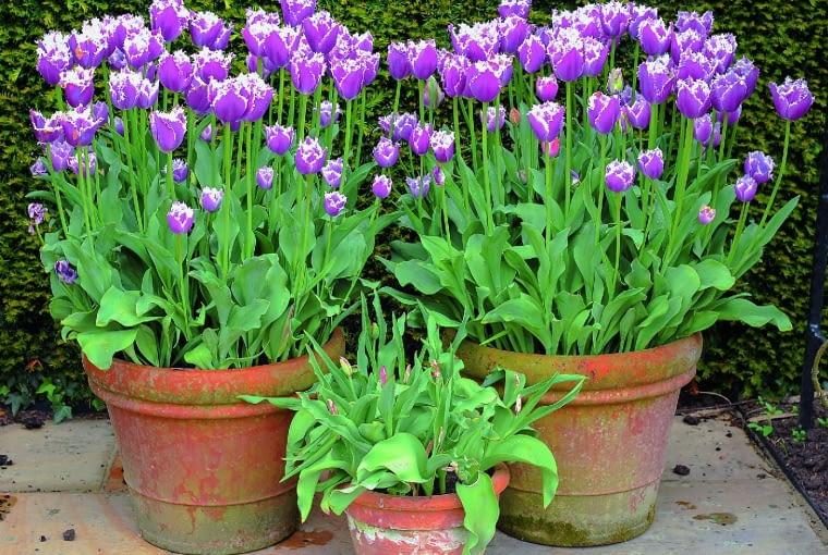 Jednolita kompozycja ze strzępiastych tulipanów 'Cummins'. Zcebul posadzonych najgłębiej wyrastają niższe rośliny.