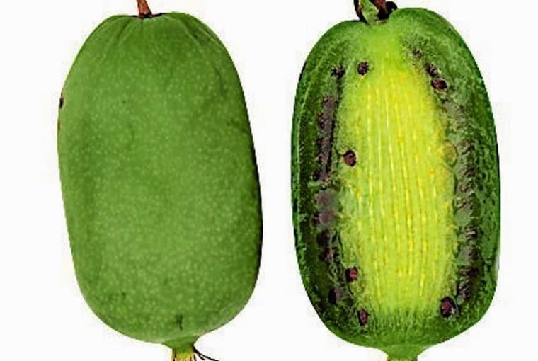 Owoce kiwi z własnego ogrodu. 'JUMBO' (aktinidia ostrolistna) Owoce wyjątkowo duże, lekko spłaszczone, o długości do 5 cm, bardzo słodkie. Zbiór w październiku.