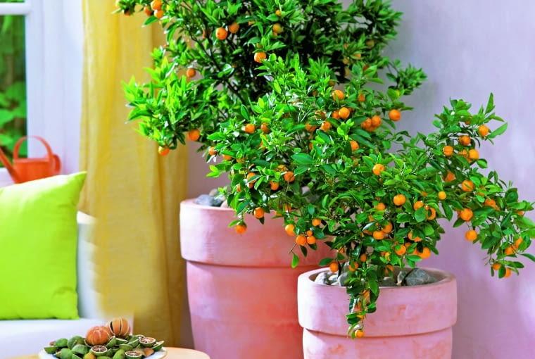 Citrofortunella. Cytrus ten, przystosowany do uprawy w pojemnikach, pochodzi od kumkwata, ale ma też w sobie inne geny: limonki, cytryny lub mandarynki. Owoce wyglądają jak złociste śliwki o długości 2-3 cm. Można je jeść na surowo razem ze słodką i soczystą cienką skórką. Jak o nią dbać ? Wymaga dużo słońca. Przez cały rok trzeba jej zapewnić umiarkowaną wilgotność podłoża. Zimą doceni chłodne pomieszczenie (do 15 st. C).