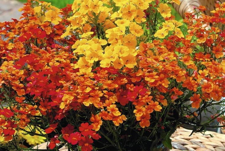 Nemezja z serii Sunsatia dobrze znosi chłód i kwitnie od przedwiośnia do początku zimy. Pędy (o dł. 40 cm) z czasem rozkładają się na boki