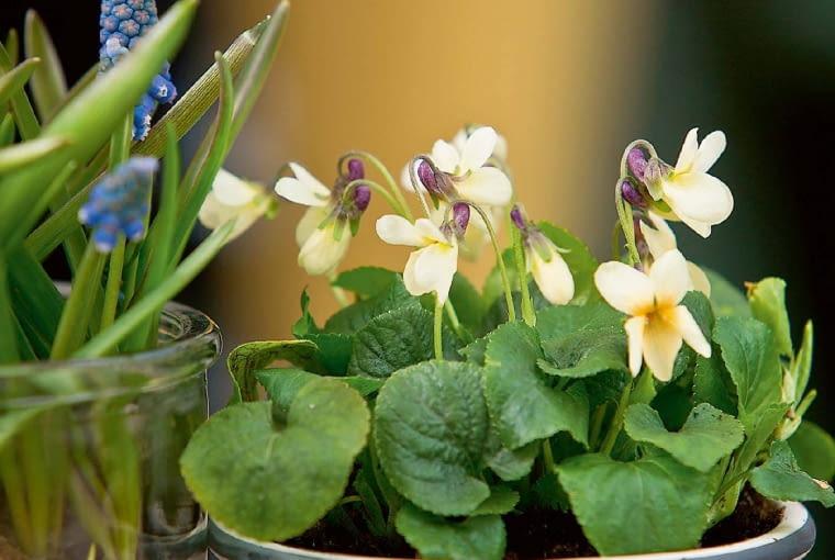 'Sulphurea' - w miarę dojrzewania jej kwiaty bledną.