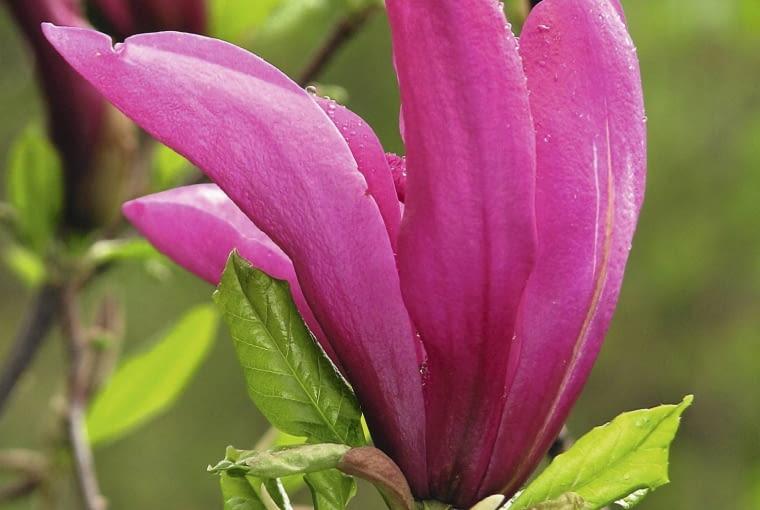 'SUSAN' to popularna odmiana magnolii rozpoczynająca kwitnienie w 1. lub 2. roku po posadzeniu.
