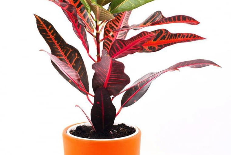 KROTON jest miłośnikiem wysokiej temperatury i intensywnego oświetlenia oraz dość wilgotnego podłoża.