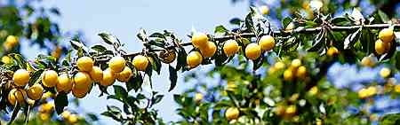 Ałycza ma zawsze tak dużo owoców, że z daleka wyglądają, jakby oblepiały jej gałęzie.