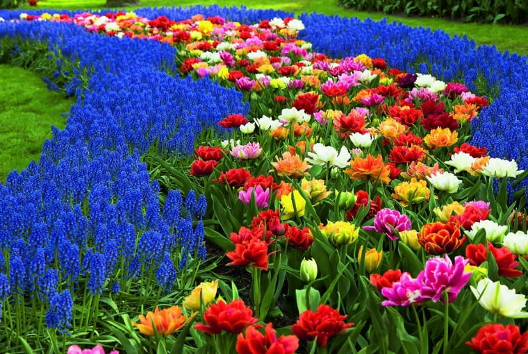 Barwny dywan zpełnych tulipanów (tzw. peoniowych), które kwitną od końca kwietnia do połowy maja, otaczają wstęgi szafirków.