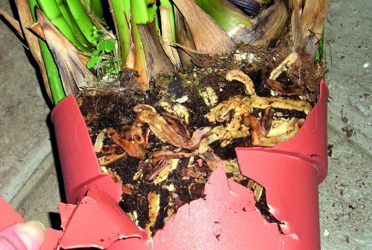 1. Niektóre storczyki, np. cymbidia idendrobia, tak silnie się rozrastają, że korzeniami rozsadzają doniczkę.