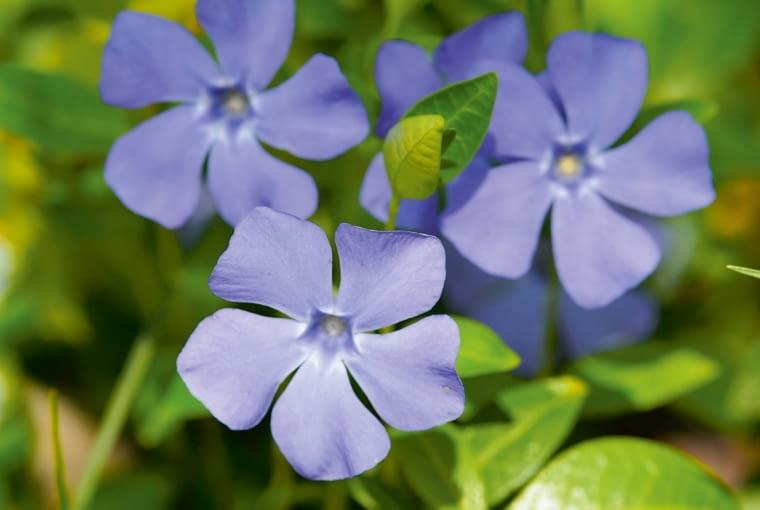 Barwinek pospolity. Vinca minor. Barwinek, zktórego tworzymy kobierce (wiosną rozkwita licznymi kwiatami), to zioło m.in. obniżające ciśnienie krwi. Ale ślimakom szkodzi.