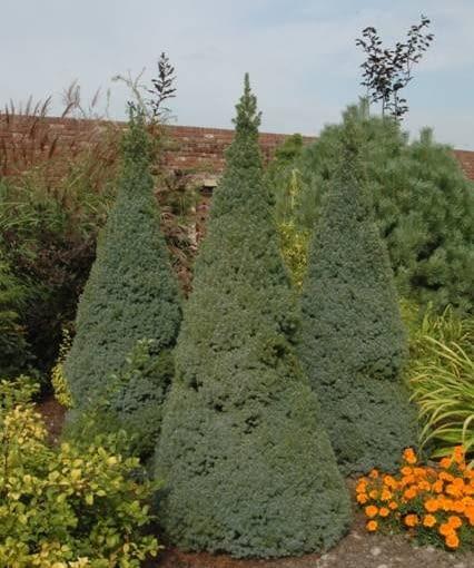 Świerk biały (Picea glauca) 'Sander's blue'