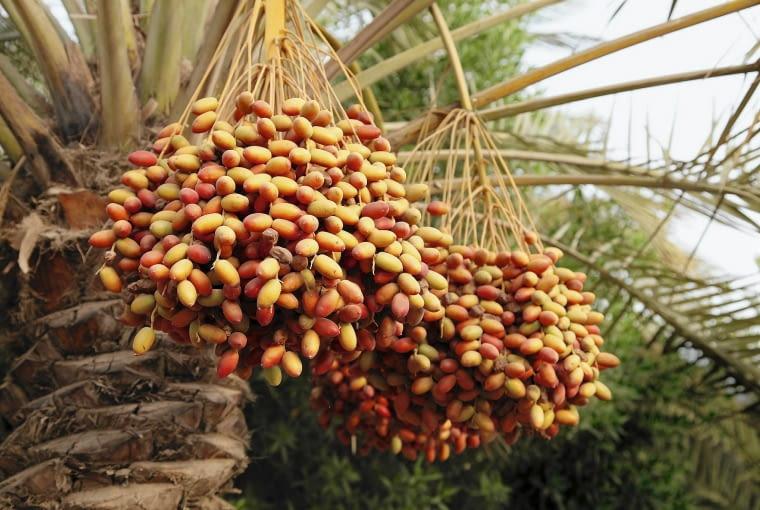 Owocostany daktylowca mogą mieć ponadmetrową długość. Tworzą się na żeńskich egzemplarzach.
