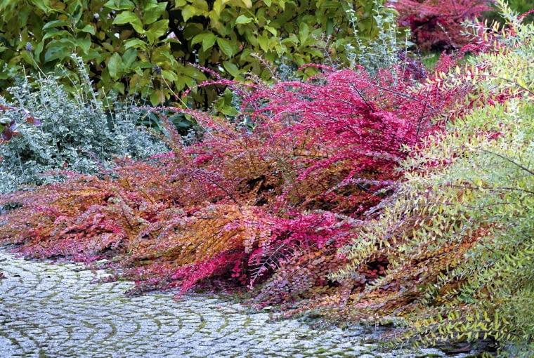 SLOWA KLUCZOWE: golanice przydrozna turkowiak ogrod garden jesien irga