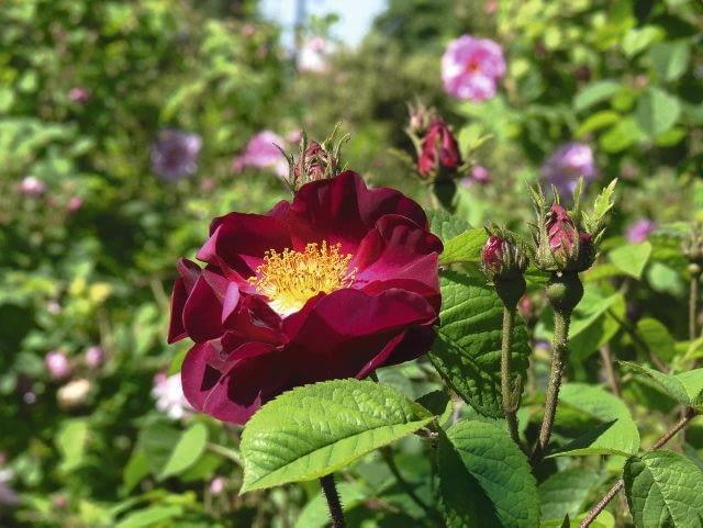 Róże portlandzkie(Rosa ×portlandica)powstały ze skrzyżowania róży chińskiej z francuską lub damasceńską; większość odmian uzyskano w XIX w. Są krzewami o wzniesionych pędach i zwartym pokroju, osiągają wysokość do 1,5 m. Ich kwiaty mają kształt płaskiej rozety, są zwykle gęsto wypełnione płatkami.