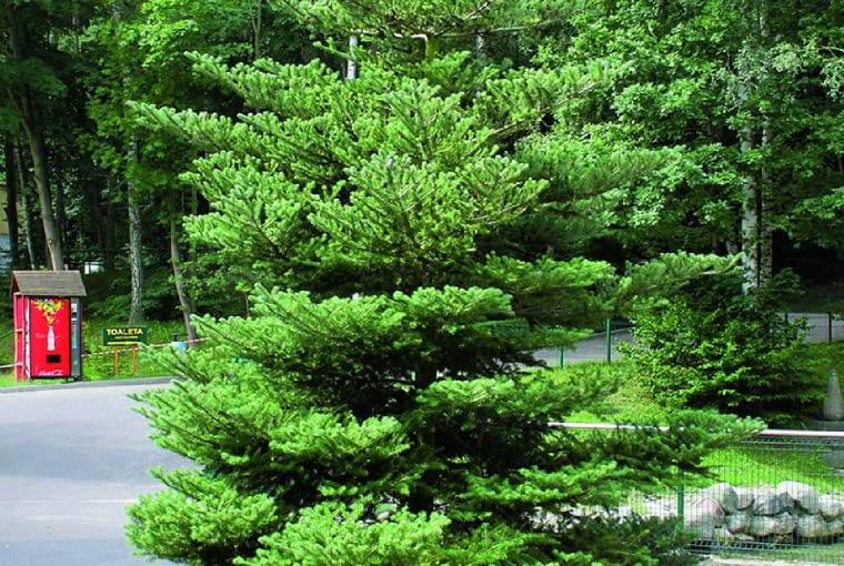 Jodła koreańska to malownicze, wolno rosnące drzewo świetnie nadające się do małych ogrodów.