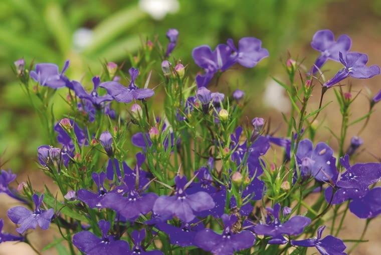 Lobelia przylądkowa (Lobelia Erinus) To gatunek jednoroczny, uprawiany z rozsady. Na rabaty polecane są odmiany o wzniesionym pokroju, tworzące kępy o wysokości 20 cm, zaś te ze zwisającymi długimi pędami są świetne do pojemników. Ich niebieskie, białe, a czasem różowe kwiaty kwitną do końca października.