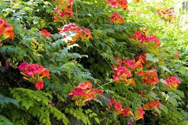 Silnie rosnący milin amerykański (Campsis radicans) wymaga w małych ogrodach starannego cięcia
