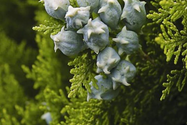 Pędy żywotników pokryte są łuskowatymi liśćmi. Z wielu łusek składają się też dojrzewające latem szyszeczki. Tuje, iglaki, krzewy ozdobne