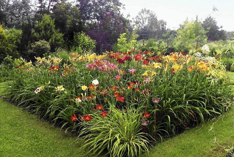 Różnobarwny Łan liliowców cieszy oczy przez całe lato.