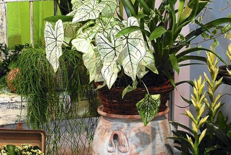 Rośliny na zabudowany balkon. Kaladium, guzmanie i rypsalis sprawiają, że czujemy się tu jak w dżungli. Na tym balkonie przez cały rok jest ponad 20 st. C.