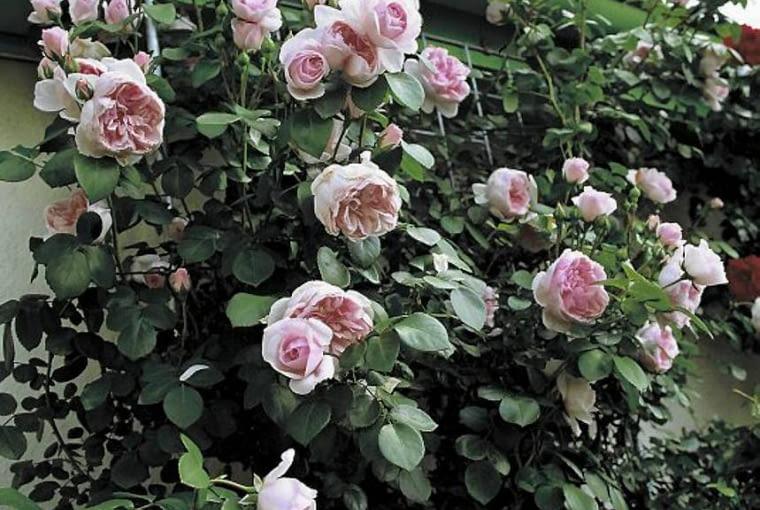 Róża Cinderella. Osiąga wys. do 1,5 m