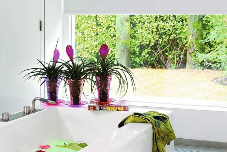 Tilandsja (Tillandsia cyanea) - Wymarzonym miejscem dla roślin jest widna łazienka