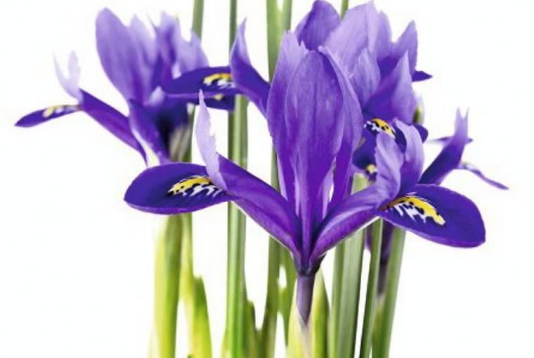 Kwiaty cebulowe. Kosaćce żyłkowane kwitną na przełomie marca i kwietnia