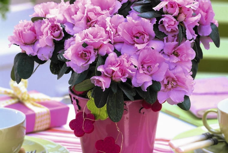 Rhododendron simsii in pink glazed pot on table