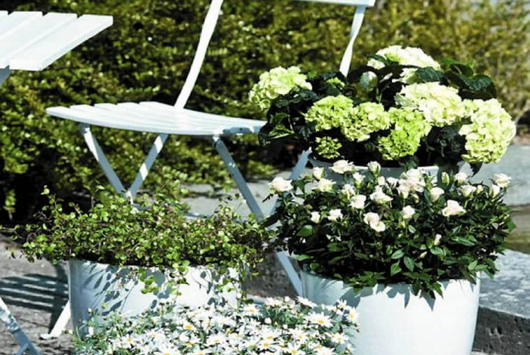 róże, hortensja ogrodowa, mulenbekia o drobnych zielonych liściach; w metalowej wanience - srebrzeń (Argyranthemum arborescens).