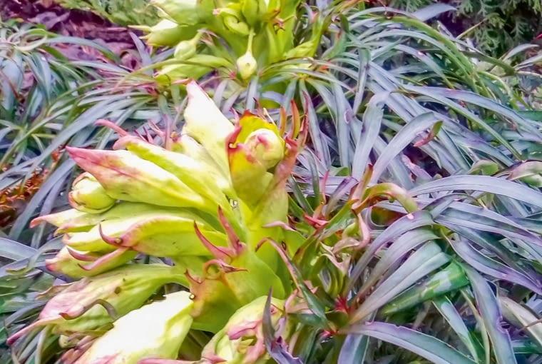 Ciemiernik cuchnący tworzy mnóstwo nasion - co roku uzyskuję znich kilkanaście nowych siewek.