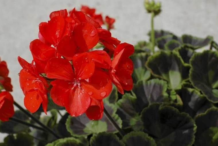 Pelargonia rabatowa 'Trend Orange'
