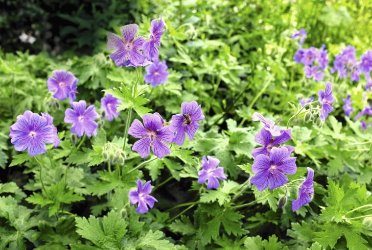 Patch of purple geraniums being explored by a honey bee SLOWA KLUCZOWE: geranium flower purple flower bed bee honeybee honey bee wildlife garden insect nature cultivated green flora fauna