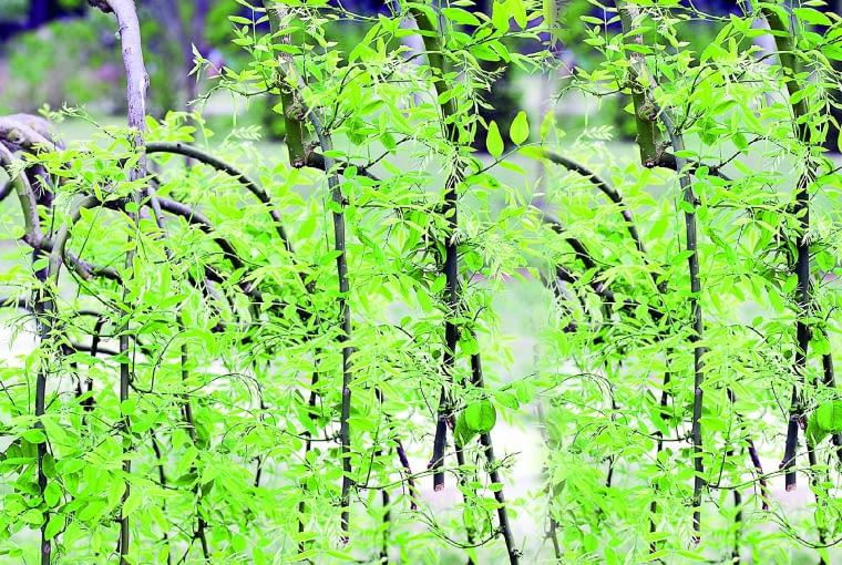 """Skierowane w dół pędy jesionu 'Pendula' skracano regularnie, aż powstał swoisty """"kandelabr""""."""