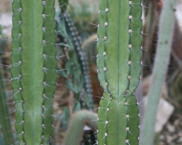 Kaktusy zimą odpoczywają i wtedy powinny mieć zupełnie suche podłoże (ale także chłodno). W okresie, gdy rosną (od wiosny do końca lata) podlewamy je umiarkowanie, ale dopiero, gdy ziemia w doniczce przeschnie.